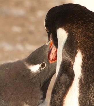 Les pingouins et les manchots sont parmi les plus grands prédateurs de krill © Erwin Vermeulen / Sea Shepherd