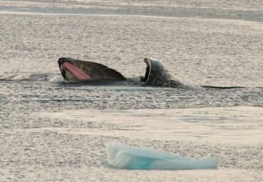 Les baleines se nourrissent essentiellement de krill © Erwin Vermeulen / Sea Shepherd