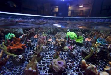 Boutures de coraux durs et mous © Philippe Henry / OCEAN71 Magazine