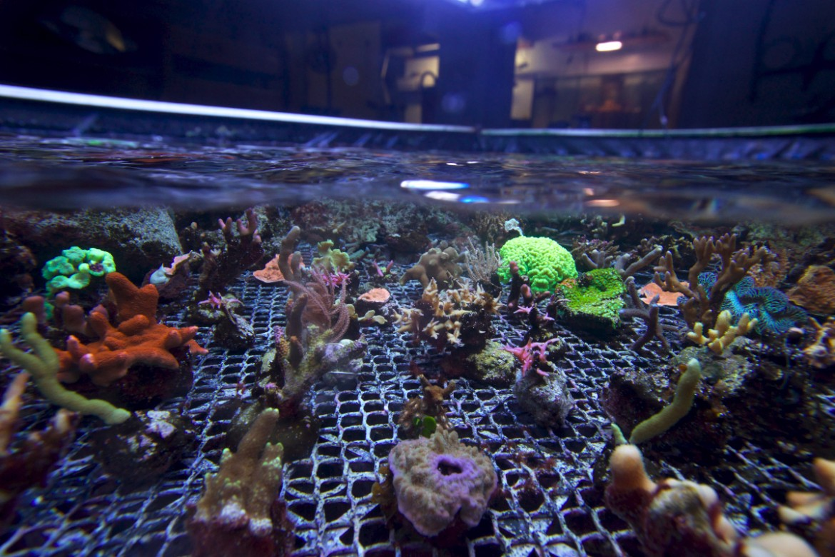 Soft and hard coral cuttings © Philippe Henry / OCEAN71 Magazine