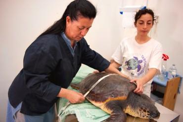 Daniela Freggi et Daria Collodoro mesure et pèse la tortue avant son opération chirurgicale © Philippe Henry / OCEAN71 Magazine