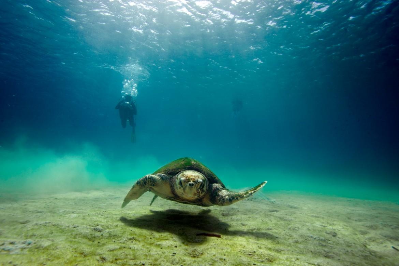 Maladroite à terre, les tortues marines sont d'une agilité déconcertante en mer. Elles utilisent leur pattes avant comme moteur et les pattes arrières pour se diriger © Philippe Henry / OCEAN71 Magazine