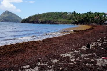 Echouage de Sargasses le long d'une île des Antilles © Laetitia Maltese / OCEAN71 Magazine