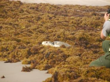 Cette tortue olivâtre devrait réussir à s'extirper des Sargasses...Qu'en sera t-il demain ? © Terry Ross / Flickr