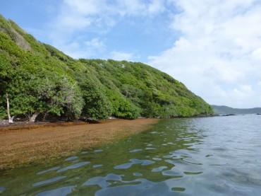 Les Sargasses se mêlent à la mangrove © Laura Moreau