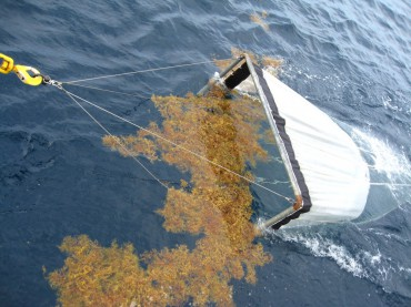 Scientists are using a net to collect plankton, which happen to be surrounded by Sargassum © NOAA photo library