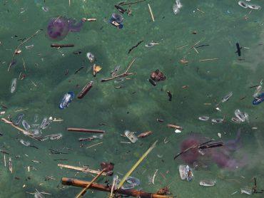 Faisant partie du plancton, les méduses dérivent au gré des courants et coups de vent, tout comme les déchets flottants comme le bois ou le plastique © Fabien Lombard