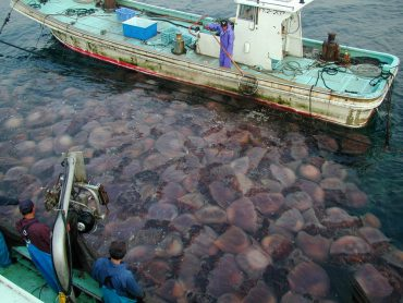 A bloom of Nomura, or Giant Jellyfish, can quickly become very problematic for the fishermen © Niu Fisheries Cooperative