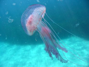 An adult Pelagia noctiluca swims peacefully in the Mediterranean © Fabien Lombard