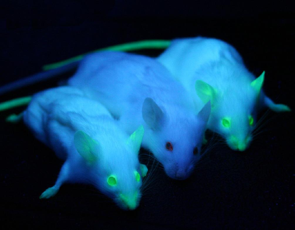 Deux souris de laboratoire ont reçu la protéine verte fluorescente, et la troisième n'a rien reçu © Wikipedia