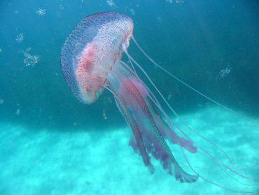 Un spécimen adulte de Pelagia noctiluca dans les eaux de la Méditerranée © Fabien Lombard