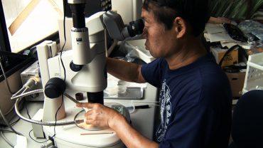 """Dr Shin Kubota étudie la """"méduse immortelle"""" à l'université de Kyoto, au Japon © Spira Mirabilis"""