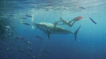 Mark Healey se sent autant à l'aise dans les vagues les plus dangereuses de la planète qu'accroché à l'aileron d'un grand requin blanc d'une taille respectable © Team Effort Films