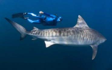 William Winram swimming next to a tiger shark in the waters of South Africa © Fred Buyle